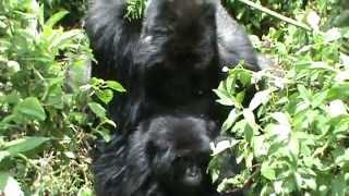 RWANDA GORYLE GÓRSKIE W PARKU WIRUNGA