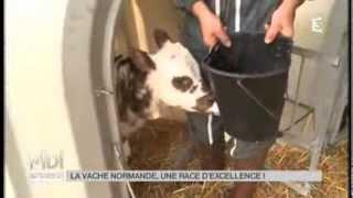 ANIMAUX : La vache normande, une race d'excellence.