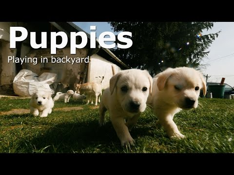 Cute Puppies [Playing in backyard] 4k
