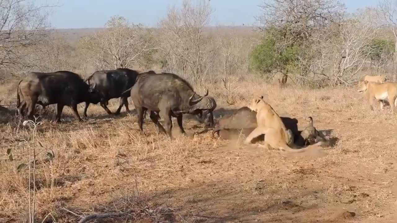 Lion pride vs a large buffalo herd.