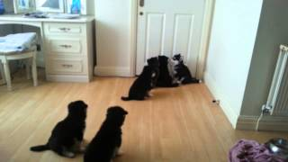 Puppies Howling to Mum