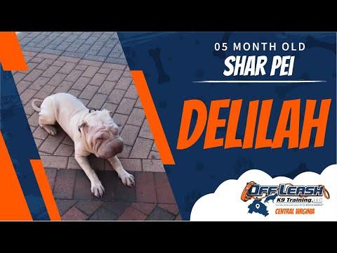 5 mo Shar Pei (Delilah) | Richmond's Best Dog Training | Off Leash K9 Training