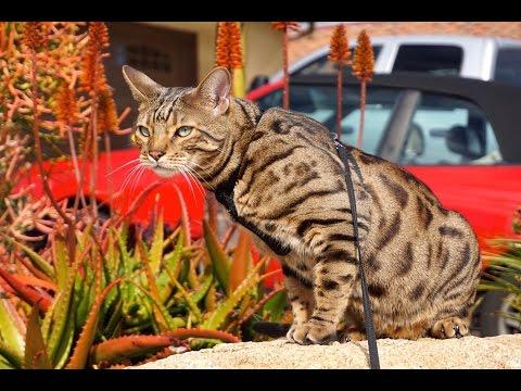 Bengal Cat Long Jump - Kona In Flight