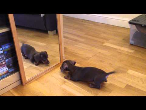 Image result for dachshund looking in mirror