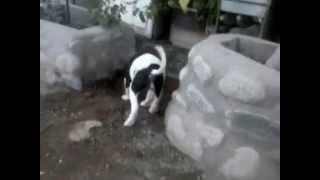 Pitbull Cruza Bull Terrier 2 Meses
