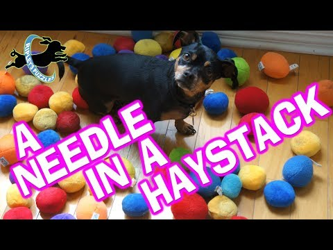 A Needle In A Haystack Puzzle | Ripley Uses Her Hound Dog Skill To Find Her Ball