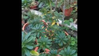 Dorstenia gigas ou Figuier de Socotra