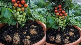 Patatese Domates Fidesi Aşılanırsa Ne Olur ?