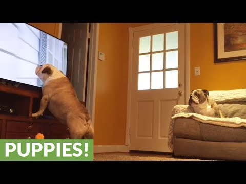Hidden camera captures two bulldogs interacting with TV program