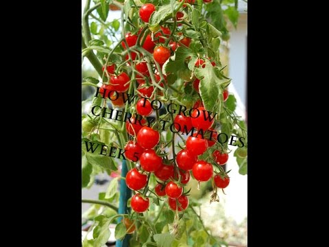 HOW TO GROW CHERRY TOMATOES IN A POT FROM SEED /WEEK 5 (PART2)-------THE TRANSPLANT