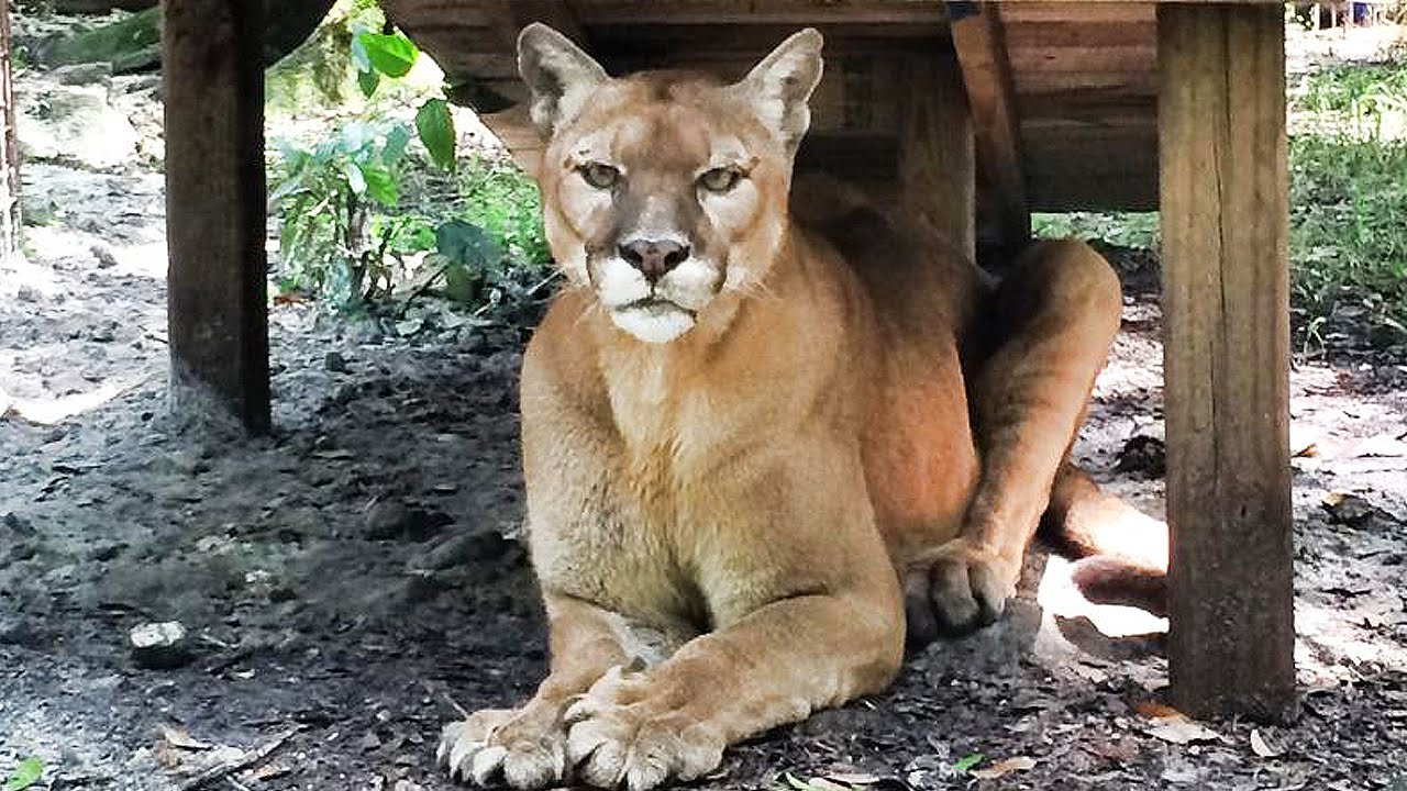 cougar rescued from backyard zoo youtube