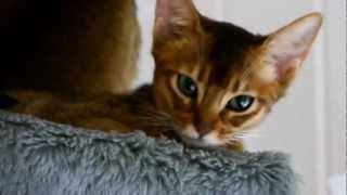 Абиссинская кошка(Абиссинская порода кошек. Подробнее о породе - http://kupikota.ru/porody/abissinskaya-koshka.html., 2012-11-12T20:09:00.000Z)