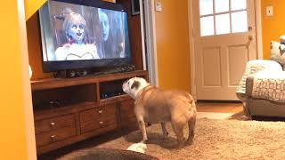Bulldog Reaction to Annabelle Comes Home-Official Trailer