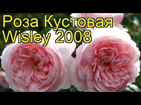 Роза кустовая Висли 28. Краткий обзор, описание характеристик, где купить саженцы Wisley 2008