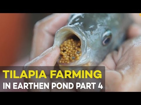 Tilapia Farming in Earthen Pond Part 4 : Tilapia Pond Based  Hatchery | Agribusiness