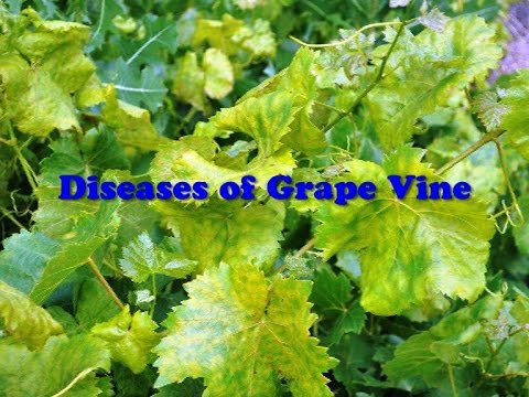 Diseases Of Grape Vine Youtube
