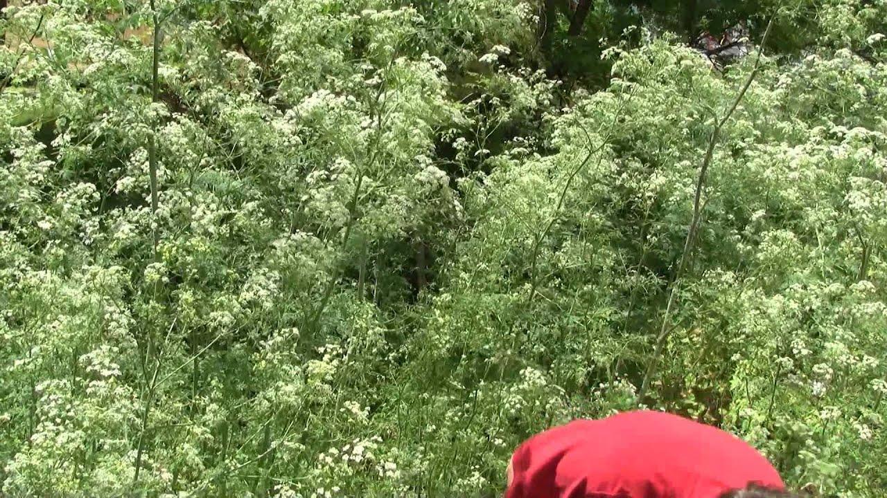 Conium maculatum identification