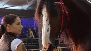 IV чемпионат лошадей Владимирской породы, Владимирские тяжеловозы