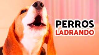 12 Perros Ladrando Muy Fuerte para molestar a tu perro o gato HD