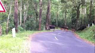 Indian Gaur Crossing