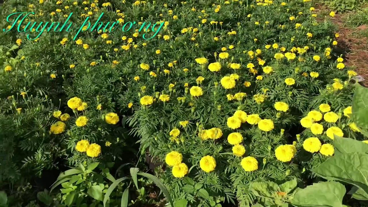 Kết qủa xử lý hoa hướng dương nở kịp Tết /huynh phương DT