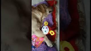 The cute little dog sleep with balloon doll.