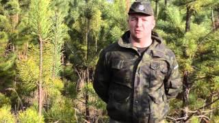 Odnowienia naturalne sosny- leśnictwo Jawornik