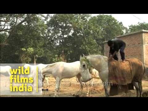 Sonepur Mela : Asia's biggest cattle fair