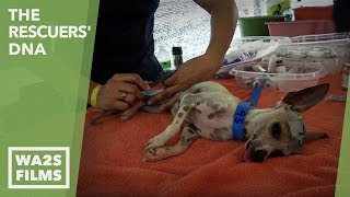 Gambar cover 100 Dogs Neutered With NEW Chemical Injection Saving Thousands - Hope For Dogs | My Dodo