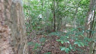 ออย2-1 เข้าป่าเก็บลูกยอกับเห็ดหูหนู ขุดจี่โป้มขายตัวละ 2บาท