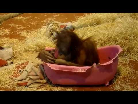 Sumatran Orangutan baby Lone and the pink little tub (Bp Zoo)