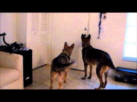 German Shepherds Reaction To Owner Coming Home