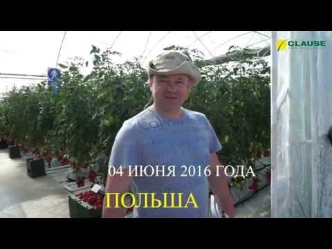 Опыт выращивания высокорослых томатов Clause в Польше