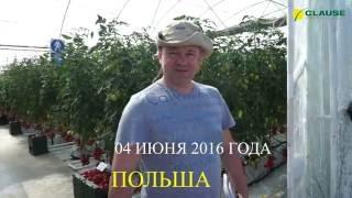 Опыт выращивания высокорослых томатов Clause в Польше(В начале июня 2016 года команда сотрудников компании