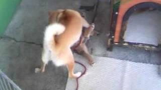 母犬が、自分の子供(子犬に)躾けしてる映像です.