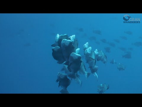 REBORN | Bumphead Parrotfish Spawning,Palau 2019