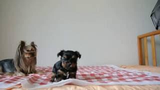 ヨークシャーテリアの子犬。 生後30日頃の動画です。 顔立ちもはっきり...