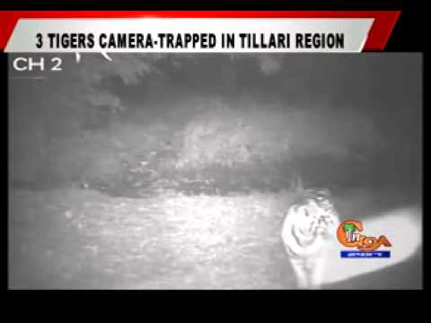 3 TIGERS CAMERA-TRAPPED IN TILLARI REGION