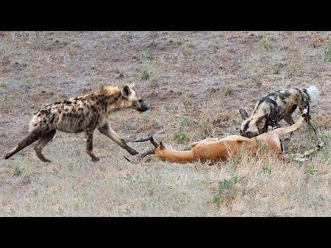 Impala Try To Escape From Wild Dog & Hyena Hunting But Failed