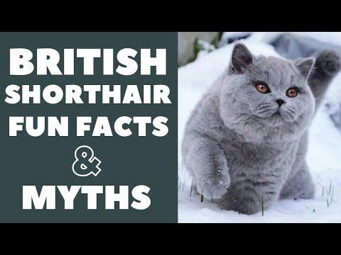 British Shorthair Cats 101 : Fun Facts U0026 Myths