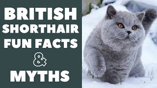 British Shorthair Cats 101 : Fun Facts & Myths