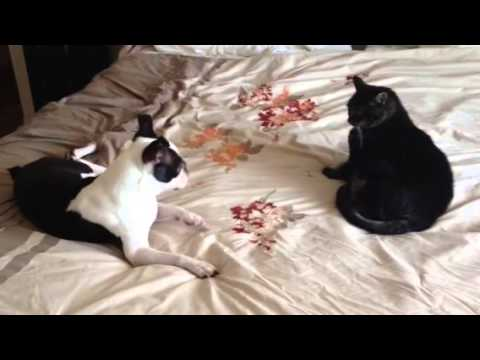 Boston Terrier Meets Cat and Has A Spaz Attack