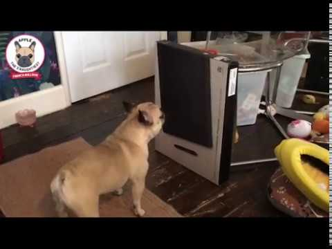 FUNNY FRENCH BULLDOG ATTACKING BOX - Cute Frenchie Dog Apple barking & wants to fight the box