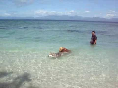 Siberian Husky Swimming In The Beach With Golden Retriever