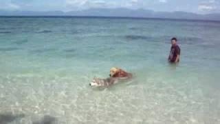 Siberian Husky Swimming In  The Beach With Golden Retriever & Cocker Spaniel