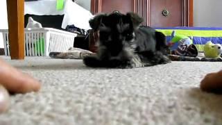 Chia - Miniature Schnauzer Puppy
