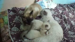 Семейство тайской породы кошек
