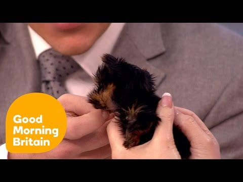Tinkerbell the smallest dog in the country bites Ben  Good Morning Britain