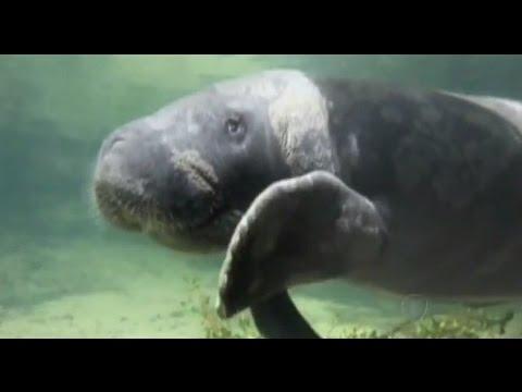 Área Ambiental Na Paraíba Protege Peixe-boi Do Risco De Extinção