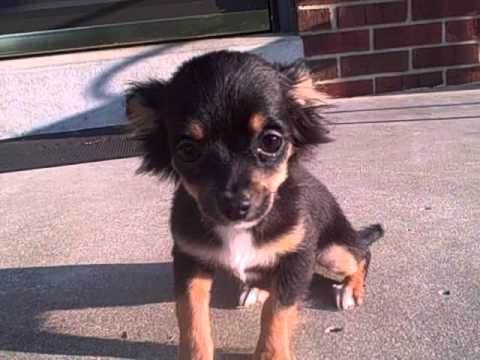 Lh Black Tri Female Chihuahua Puppy For Sale In Kentucky Youtube